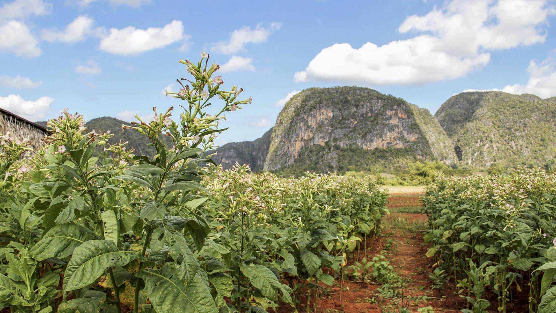 vinales champs de tabac cuba autrement