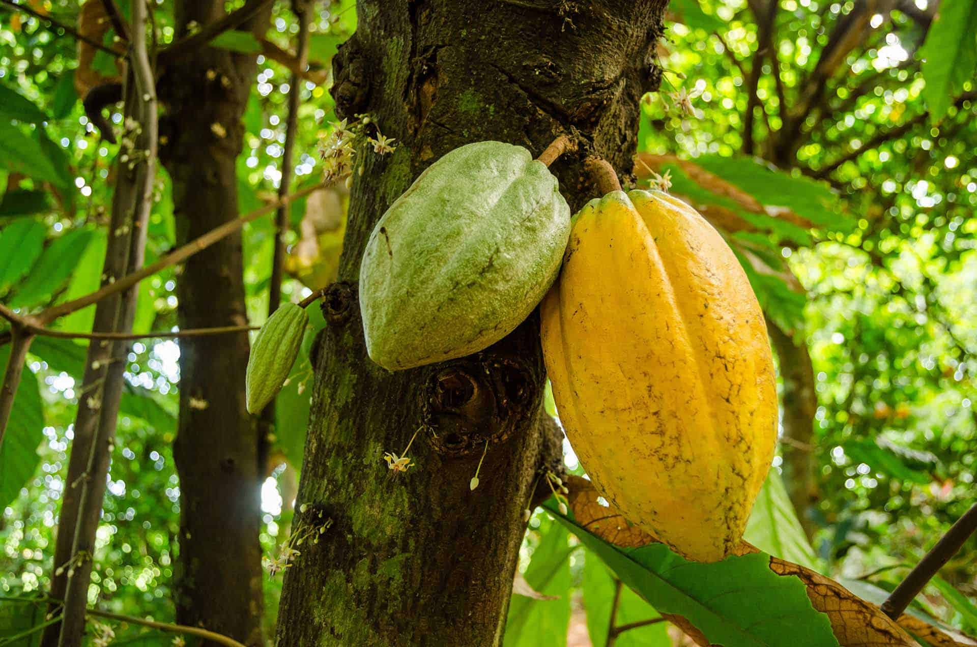 baracoa plante cacao cuba autrement